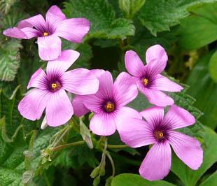 Seasonal wild flowers pink sorrel mightylinksfo
