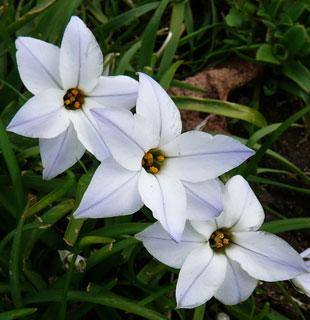 Seasonal Wild Flowers Spring Starflower