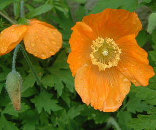 Seasonal wild flowers welsh poppy orange welsh poppy orange single flower mightylinksfo