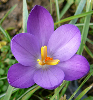 Seasonal wild flowers early crocus early crocus mightylinksfo