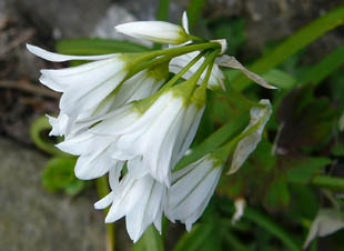 Seasonal wild flowers three cornered garlic on a hedge bank devon mightylinksfo