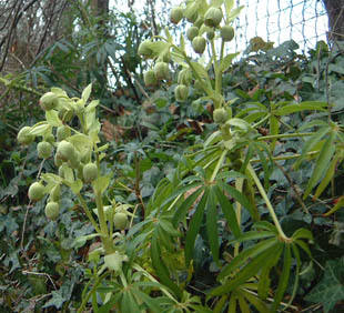 Seasonal Wild Flowers Stinking Hellebore