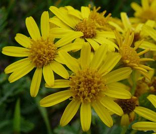 Senecio aureus Golden ragwort from New Moon Nurseries