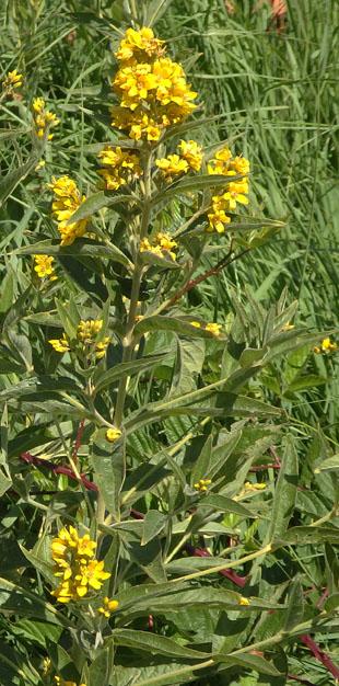 Seasonal wild flowers yellow loosestrife mightylinksfo