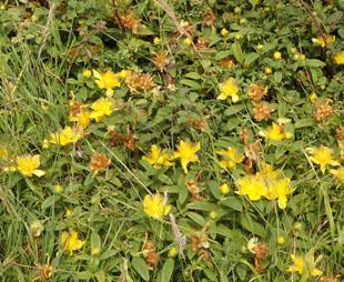 Seasonal Wild Flowers Rose Of Sharon