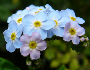 Seasonal wild flowers water forget me not blue and pink flowers mightylinksfo