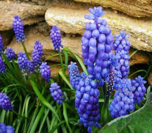 Garden Grape Hyacinth On A Bank