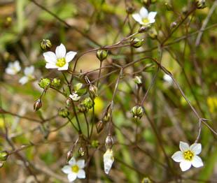 Seasonal Wild Flowers Fairy Flax