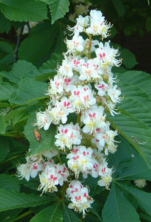 List of synonyms and antonyms of the word horse chestnut flower flower journal pink horse chestnut blossoms macebergmann mightylinksfo