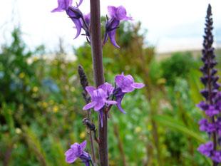 Seasonal wild flowers purple toadflax mightylinksfo