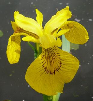 seasonal wild flowers  yellow iris, Beautiful flower