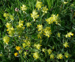 Seasonal wild flowers yellow rattle mightylinksfo